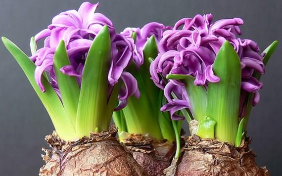Flowering bulb plant sale dctc news flowering bulb plant sale mightylinksfo
