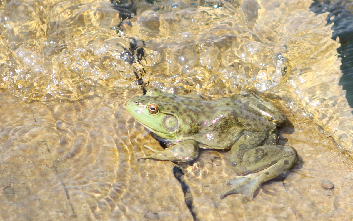 Bullfrog spotted by Erin Edlund at her ancestral home in Iowa