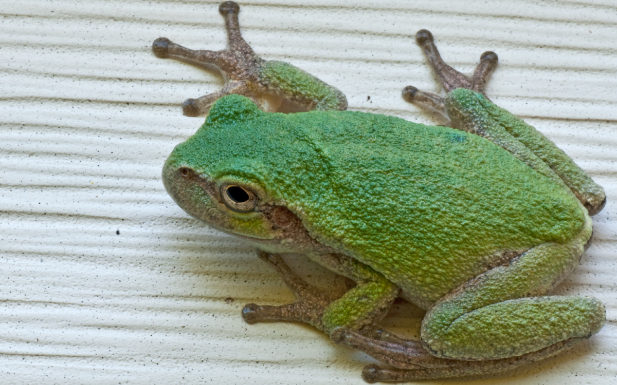 Gray tree frog spotted by Chris Hayes at his residence in Webster, Minn.