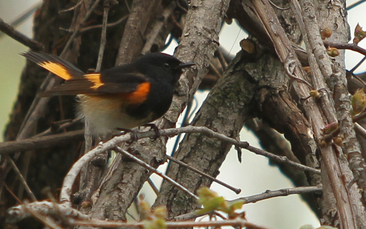 American redstart at wetland area behind DCTC