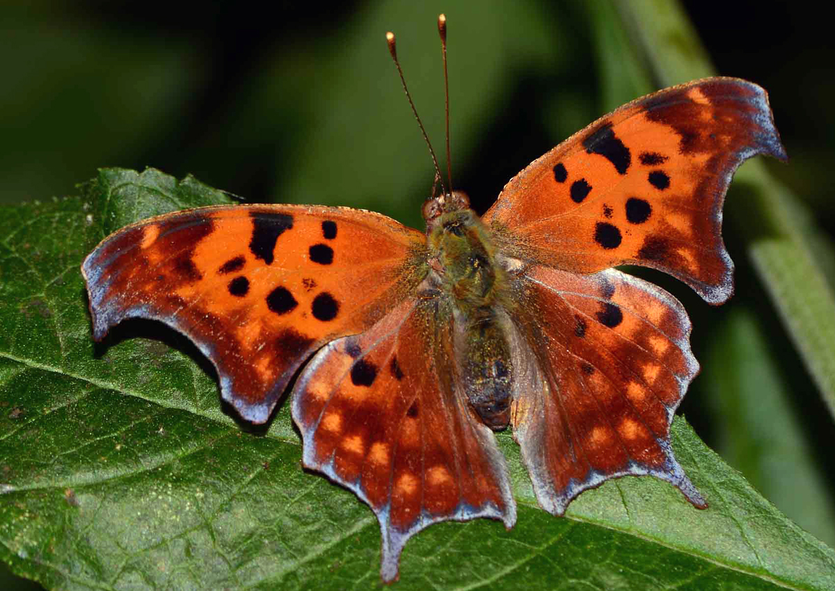 Question Mark (Polygonia interrogationis) a spring arrival with lots of ???s