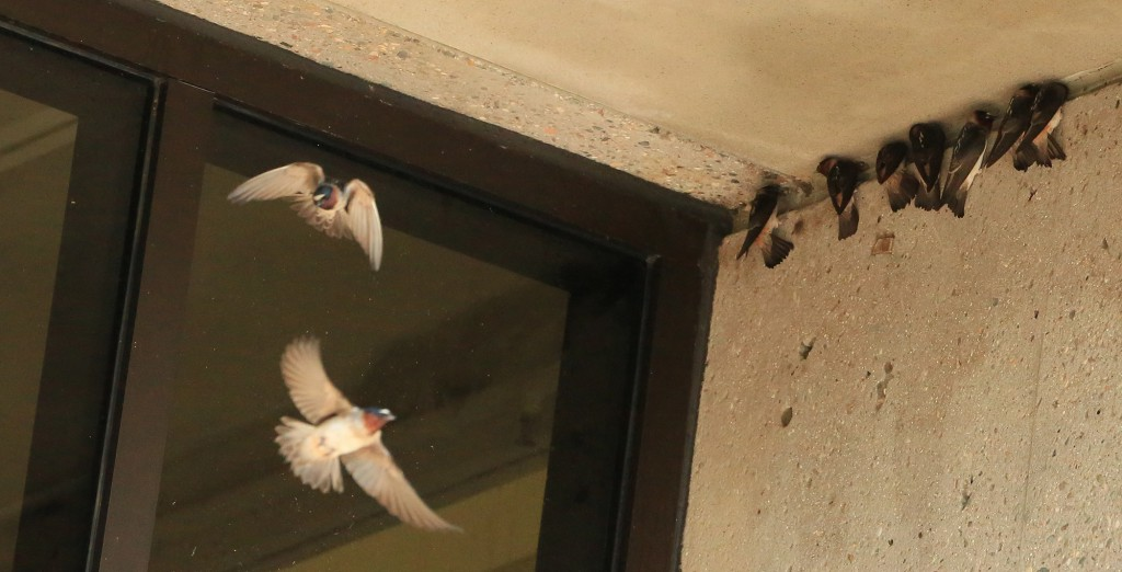 DCTC cliff swallows