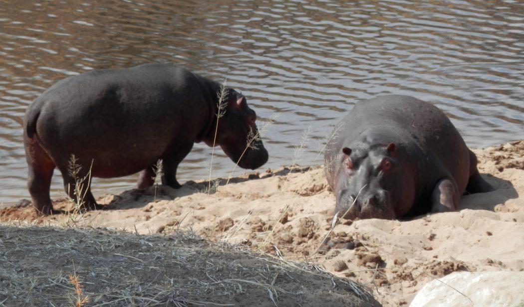 Hippos on riverbank