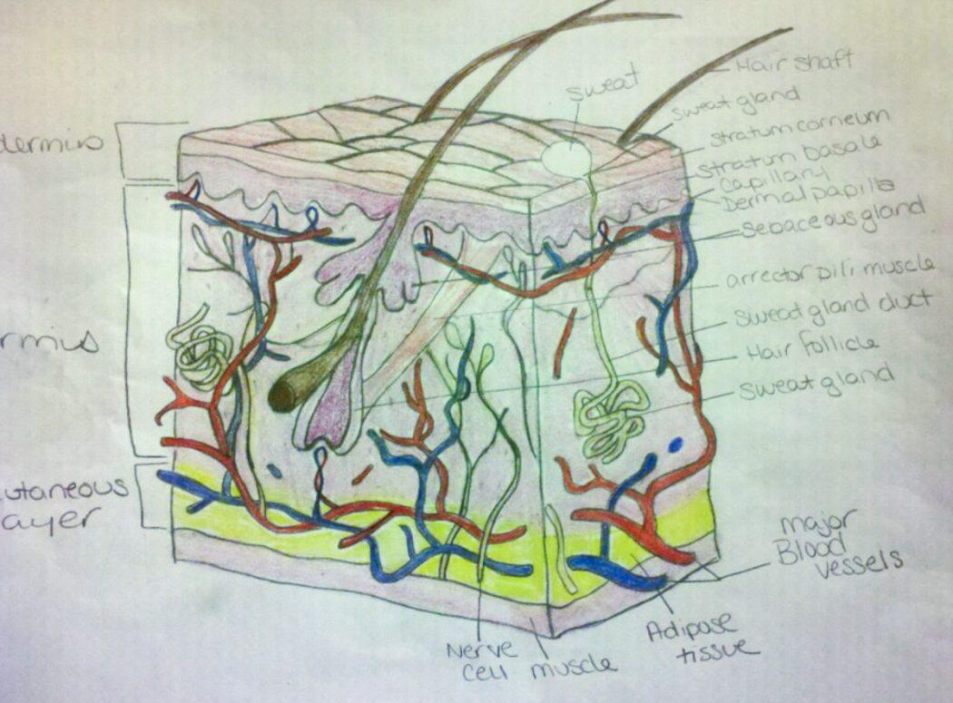 Skin layers drawing