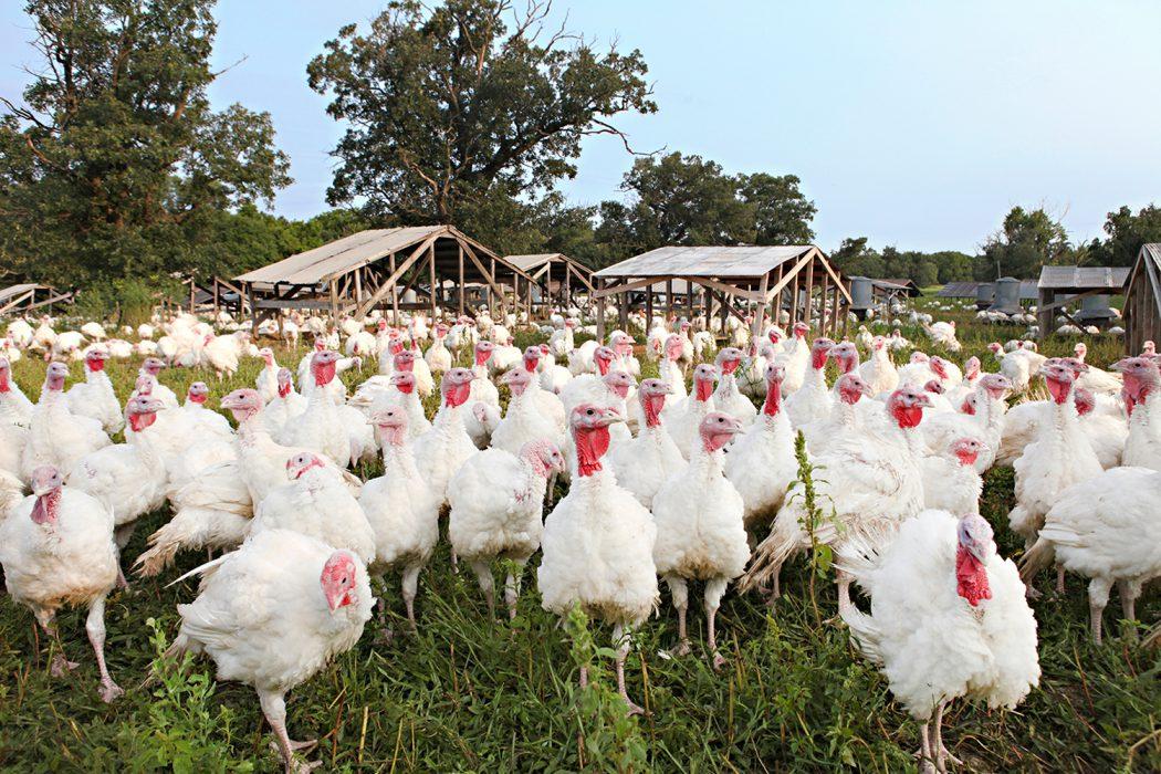 Ferndale free-range turkeys
