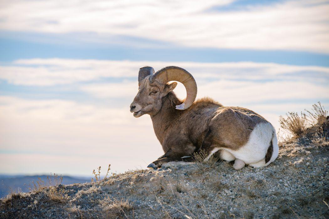 Badlands Bighorn: 2nd Place