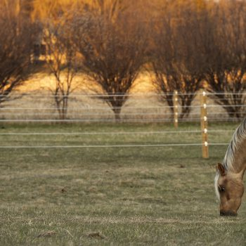 Golden pony at Golden hour