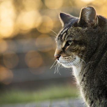 Golden hour Guard Cat