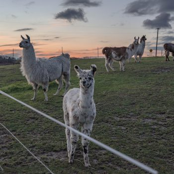 Lovable Llamas at Sunset