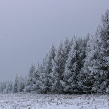 A Frosted Forest