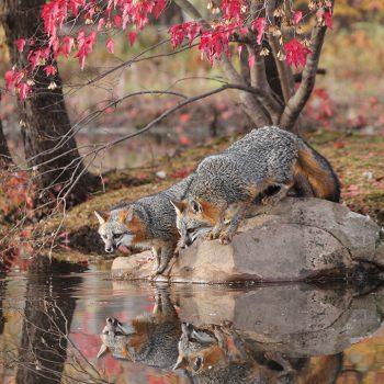 Grey Fox Reflections