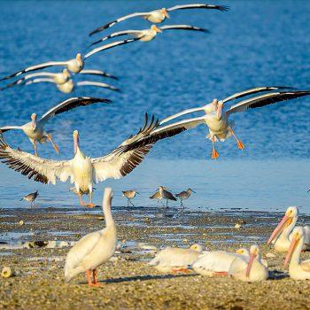 Pelican Rush Hour